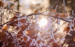 Snow-covered autumn leaves