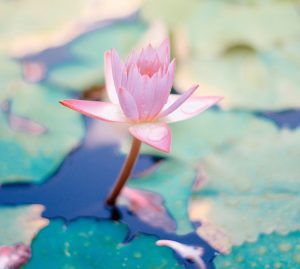 Pink flower protruding from water