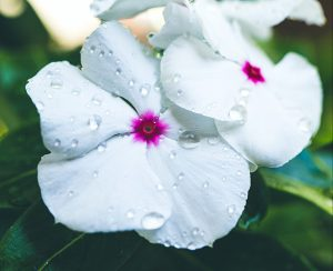 White flower with raindrops on it