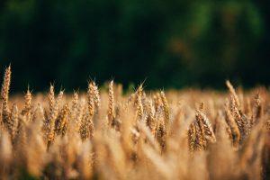 Warm Sun saturates crops