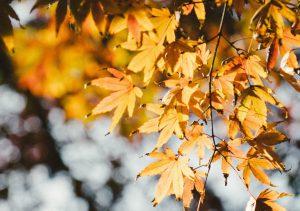 Fall leaves in sunlight