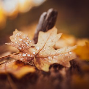 Water droplets collect on an autumn leaf