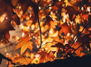 Autumn leaves illuminated by the Sun