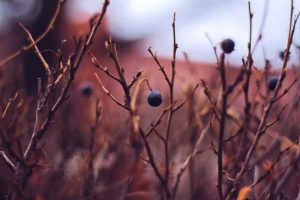 Berries grow from the branches of a plants