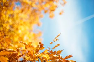 Autumn leaves shine in the bright Sun