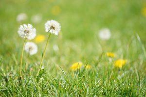 Dandelions in bright green grass