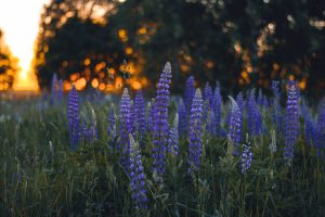 Violet flowers contrasted against a golden sky