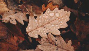 Rain drops on an autumn leaf