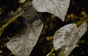 Wet droplets of rain on green leaves