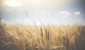 Barley/Wheat Field under the Sun